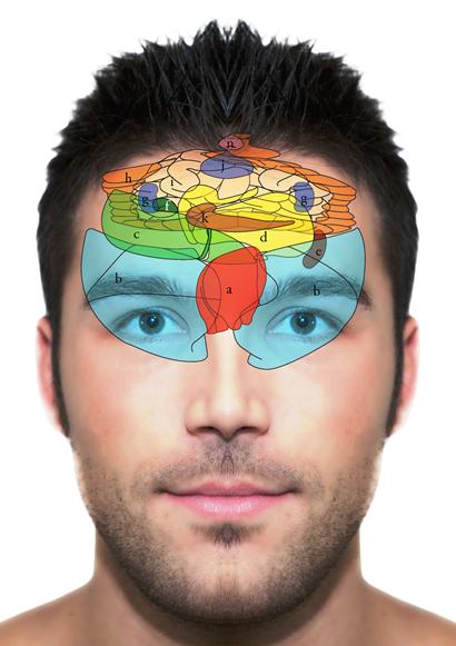 Organi interni fronte